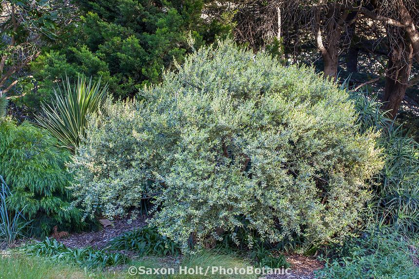 Myrtus communis 'Variegata' Variegated Myrtle foliage shrub at Leaning Pine Arboretum, California garden