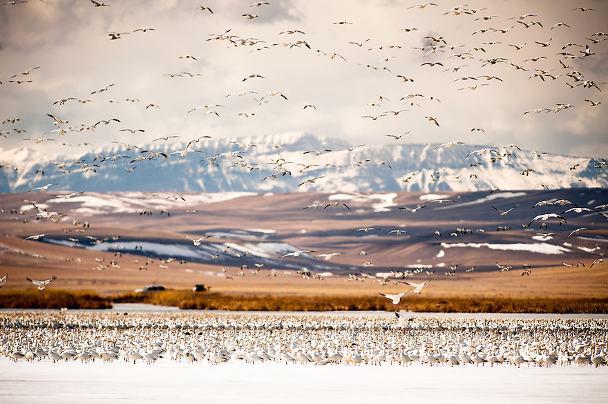 Snow geese take flight over Freeeout Lake near Fairfield, Montana. Freezout Lake Wildlife Management Area along the Rocky Mountain Fronts sees thousands of white geese each spring during the annual waterfowl migration.
