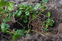 Gewöhnlicher Gundermann, Gundermann, Efeublättriger Gundermann, Echt-Gundelrebe, Gundelrebe, Glechoma hederacea, Alehoof, Ground Ivy, ground-ivy, gill-over-the-ground, creeping charlie, tunhoof, catsfoot, field balm, run-away-robin, le Lierre terrestre, Le gléchome lierre terrestre, le lierre terrestre commun. Blatt, Blätter, leaf, leaves, Wurzel, Wurzeln, root, roots