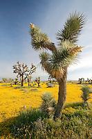 Joshua Trees ( Yucca brevifolia ) and carpets of goldfields (Lasthenia californica) Antelope Valley near Lancaster, California