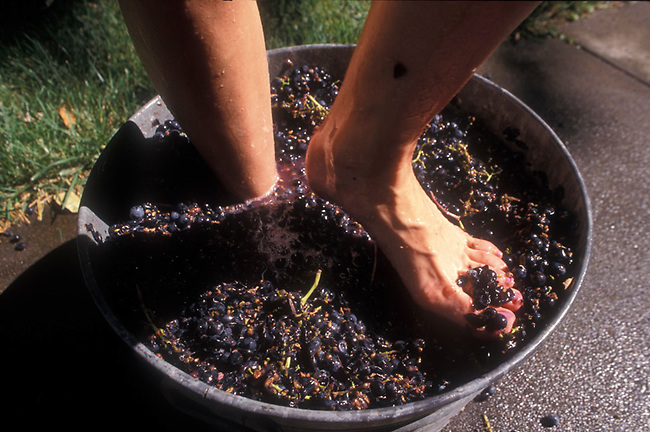 Feet crush grapes during home winemaking harvest