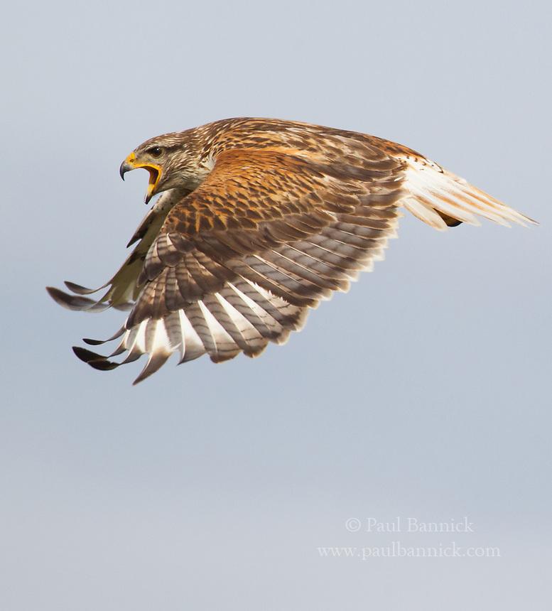 Ferruginous Hawk in flight 3362