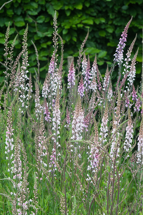 Linaria purpurea 'Canon Went', mid June. Purple toadflax, an erect perennial of slender habit, with linear leaves and long racemes of pale pink flowers in summer and autumn.