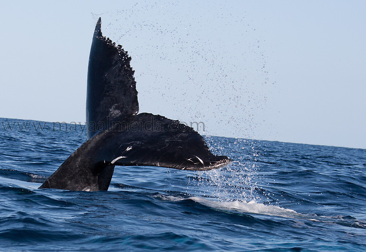 Humpback_Whales_Tail