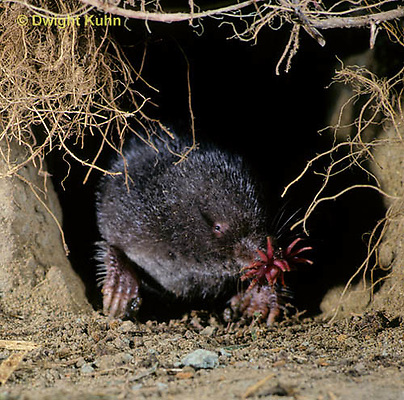 MB05-014z  Star-nosed Mole - moving through tunnel - Condylura cristata