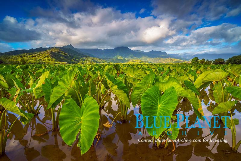 taro, Colocasia esculenta, fields, at sunrise, Hanalei National Wildlife Refuge, Mount Waialeale in background, Kauai, Hawaii, USA