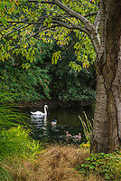 Scenic Photograph of St James Park in London England. This vertical scenic is of the lake that is located in the park where several swans and duck frequently swim.