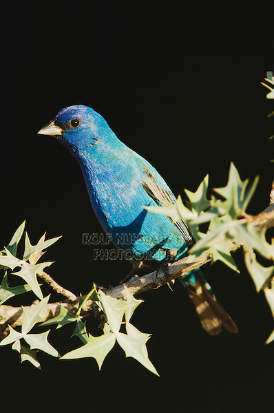 Indigo Bunting, Passerina cyanea, male on Agarita (Berberis trifoliolata), Uvalde County, Hill Country, Texas, USA, April 2006