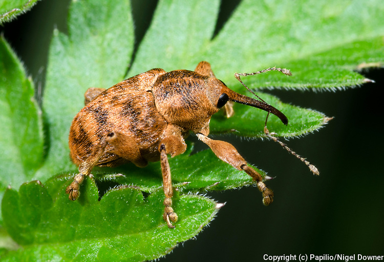 Close-up of an Acorn weevil (Curculio venosus) resting on a leaf in a Norfolk woodland habitat in summer