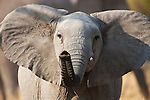 Botswana, Okavango Delta, Moremi Game Reserve,  African elephant   (Loxodonta africana), young bull lifting trunk