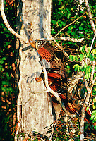 Hoatzin birds at Lake Sandoval, Peruvian Rainforest, South America