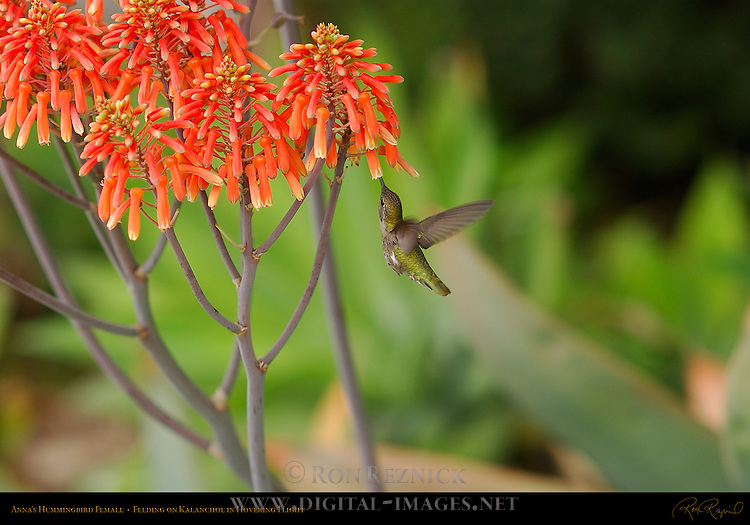 Anna's Hummingbird Female, Feeding on Kalanchoe in Hovering Flight, Southern California