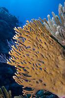 Fire Coral, Millepora sp.