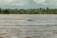 A critically-endangered Irrawaddy dolphin emerges from the water of the Mekong river. 05/08/2013 © Thomas Cristofoletti / Ruom