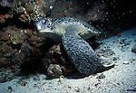 Green Sea Turtle - Chelonia mydas.Galapagos Islands, Ecuador....