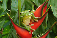 White - lipped Green Tree Frog (Litoria infrafrenata) sitting in the middle of a bright red Heliconia plant.