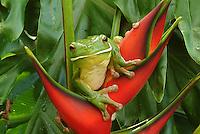 Australian Frogs (Amphibians)