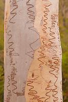 Scribbly Gum bark closeup, Mt. Tempest Track, Moreton Island, Queensland, Australia
