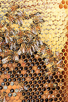 Honeybees on a comb of honey, pollen and brood.