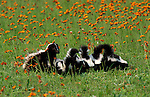 Striped Skunk (Mephitis mephitis) - captive, mother with 7 week old cubs / young playing, meadow with red flowers, caring nurturing.USA....