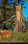 Forest Scene, Wolf Lichen on Red Fir Stump, Letharia vulpina, Abies magnifica, Taft Point Trail, Yosemite National Park