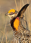 Greater Prairie Chicken, Tympanuchus cupido, perform mating display in their lek near Grand Island, Nebraska.
