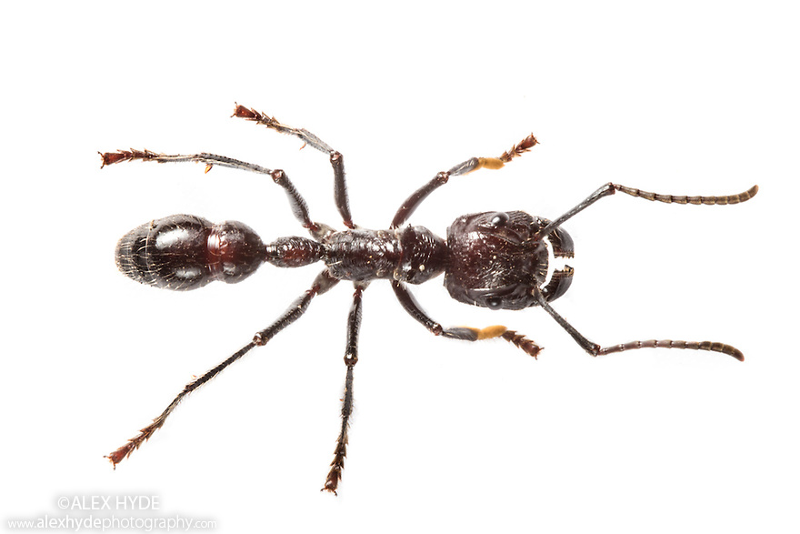 Bullet Ant worker {Paraponera clavata}. This insect's sting is reportd to be more painful than that of any other hymenopteran, ranked at the top of the Schmidt sting pain index at 4+, above the tarantula hawk wasp. Some victims report the sting to feel like being shot, hence the name of the ant. Photographed (with extreme caution) on a white background in mobile field studio. Central Caribbean foothills, Costa Rica. May.