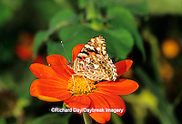 "03406-007.17 Painted Lady butterfly (Vanessa cardui) on Mexican Sunflower (Tithonia rotundifolia ""Torch""), Marion Co.  IL"