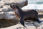 La Jolla, California; a California Sea Lion pup walking along the rocky shoreline in late afternoon sunlight