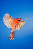 Northern Cardinal, Cardinalis cardinalis, male in flight, New Braunfels, Hill Country, Texas, USA, November 2005