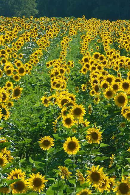 Rows and rows of sunflowers grow at the DesPlaines River State Fish and Wildlife Area in Will County, Illinois.