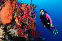 nr0457-D. scuba diver Melissa Cole (model released) admires coral reef ablaze with sponge colors.  red Erect Rope Sponges (Amphimedon compressa), Orange Elephant Ear Sponge (Agelas clathrodes), Lavendar Rope Sponge (Niphates erecta). Belize, Caribbean Sea.<br /> Photo Copyright &copy; Brandon Cole. All rights reserved worldwide.  www.brandoncole.com