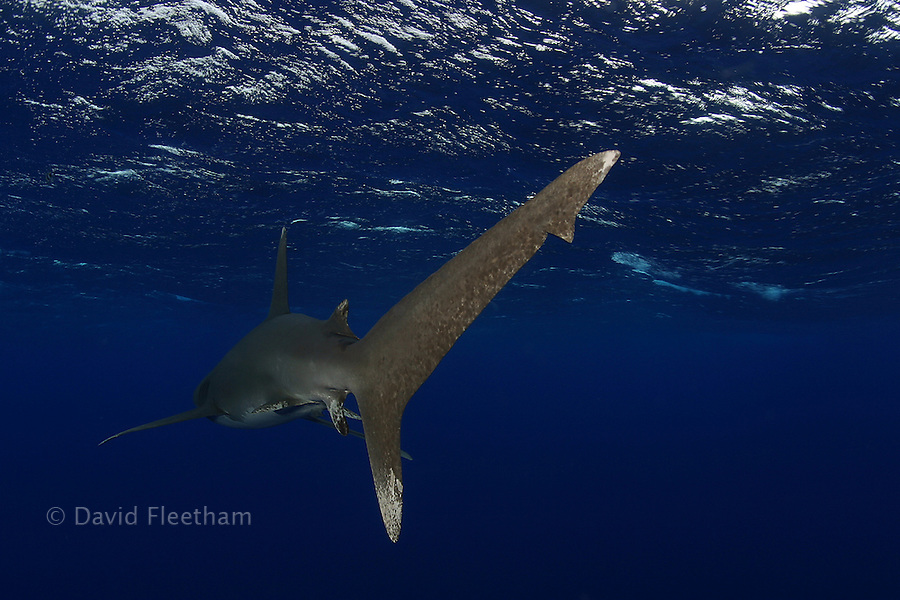 Mr. Fleetham photographed this tail view of an oceanic whitetip shark,Carcharhinus longimanus, while thirty knot winds whipped the surface.  Hawaii.