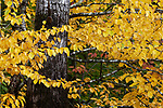 Fall foliage, Rockport, Knox County, Maine, USA