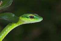 Panama - Parrotsnake
