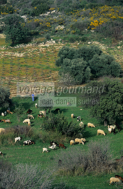 Europe/Chypre/Akamas : Troupeau de chèvre et brebis en pâture