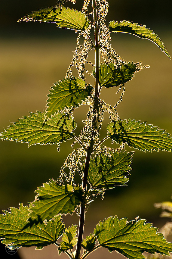 Stinging nettles (Urtica dioica) deceptively delicate and beautifully back-lit with flowers in June.