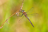 310880012 a wild male dot-winged baskettail dragonfly epitheca petechialis near caddo lake in marion county texas