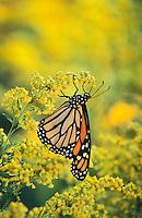 Monarch Butterfly (Danaus plexippus) on Goldenrod (Solidago x hybrida), autumn, southern British Columbia, Canada.