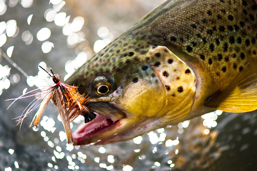 This brown trout took a salmonfly pattern on the Madison River near Three Dollar Bridge.