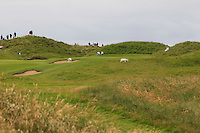 The Lahinch goats on the 10th green during the Quarter Finals of The South of Ireland in Lahinch Golf Club on Tuesday 29th July 2014.<br /> Picture:  Thos Caffrey / www.golffile.ie