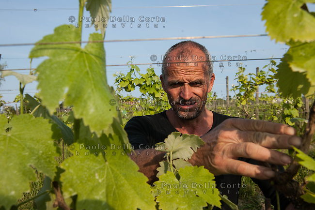 """Venice - Sant' Erasmo Island. Domaine Orti di Venezia. Michel Thoulouze it's the owner of """"Orti di Venezia"""". The vines are planted on land where, in the 1700, the wine of noblemen was made, a wine greatly appreciated by the Doges and Casanova. PHOTO: RENZO WORK IN THE VINEYARDS"""