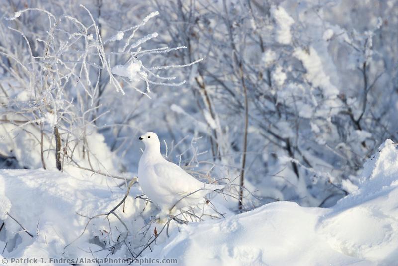Willow ptarmigan in winter plumage, Arctic Alaska.