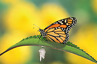 MONARCH BUTTERFLY (Danaus plexippus) life cycle..Drying wings on Joe-Pye Weed after emergence from cocoon..North America.
