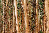 Eucalyptus trees in the Presidio, San Francisco, California.