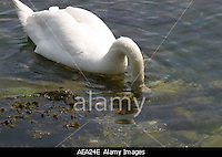 AEA24E Mute swans Cygnus olor feeding at low water in fjord