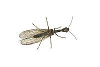 Xanthostigma Xanthostigma - a snakefly, family Raphidiidae