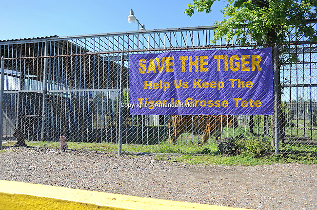A caged tiger paces back and forth all day long at the edge of the Tiger Conoco gas station in Grosse Tete, Louisiana on April 14, 2009.  A primary attraction in Grosse Tete, a sign requesting donations asks visitors to help keep the tiger in his tightly enclosed space that in no way resembles his habitat.