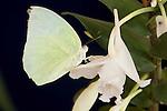 Lemon Emigrant ( Catopsilia pomona pomona)