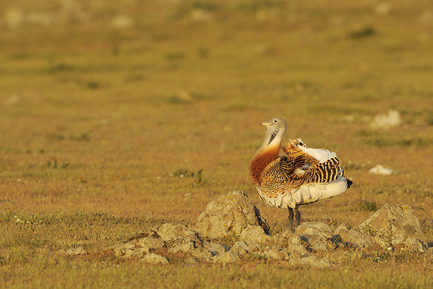 Great bustard, Otis tarda, male displaying  La Serena, Extremadura, Spain